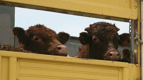 Sığır ithalatında rüşvet iddiası! 'Tam bir fırsatçılık hikayesi…'